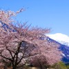 山の残雪と桜