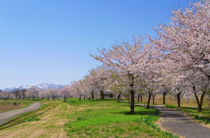 六日町、桜の風景
