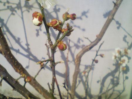 梅 つぼみ